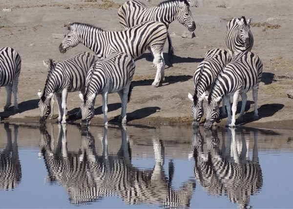 spiegelnde-Zebras.jpg
